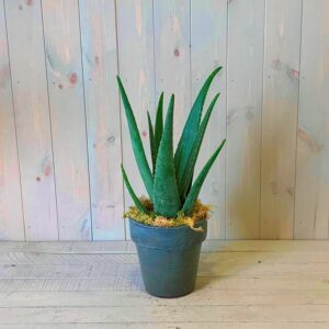 The Aloe Vera plant makes a great easy care gift as a house plant