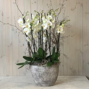 Home flower delivery. Grouping of white Orchid plants in ceramic container. Dublin delivery available on a same day basis.