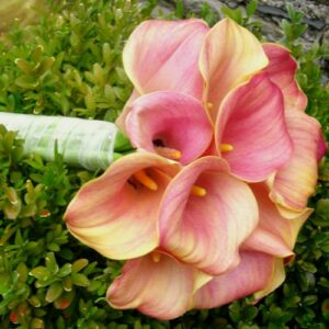Calla Lilies in pink from the gallery of wedding flower pictures