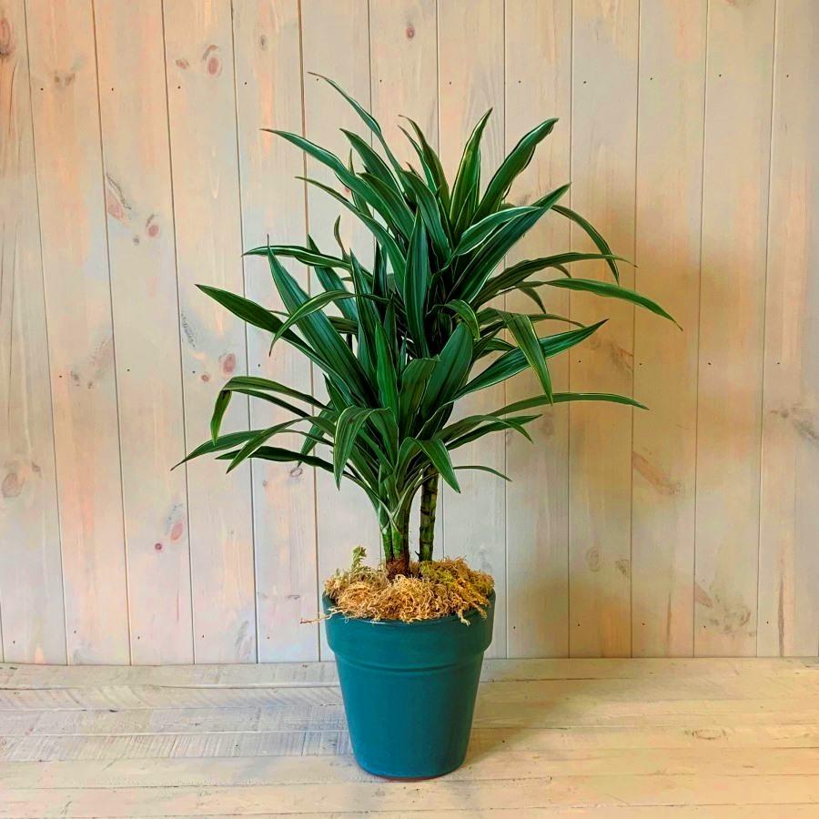 Dracaena Plant in Ceramic Container
