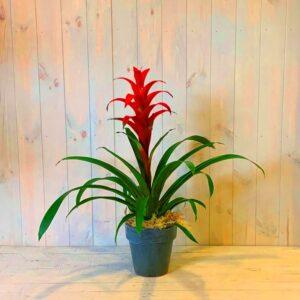 A striking Guzmania plant in an attractive ceramic container.