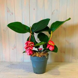 Medinilla Plant or Philippine Orchid Plant in ceramic container