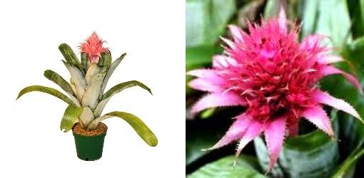 Achmea Fasciata or Urn Plant.