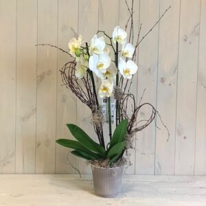 White Orchid plant in ceramic container with fast delivery in Dublin city and county.