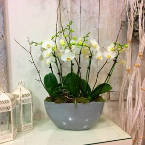 Grouping of white Orchid plants in ceramic container. Dublin delivery available on a same day basis.