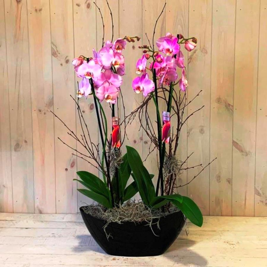 A Pair of Purple Orchid Plants