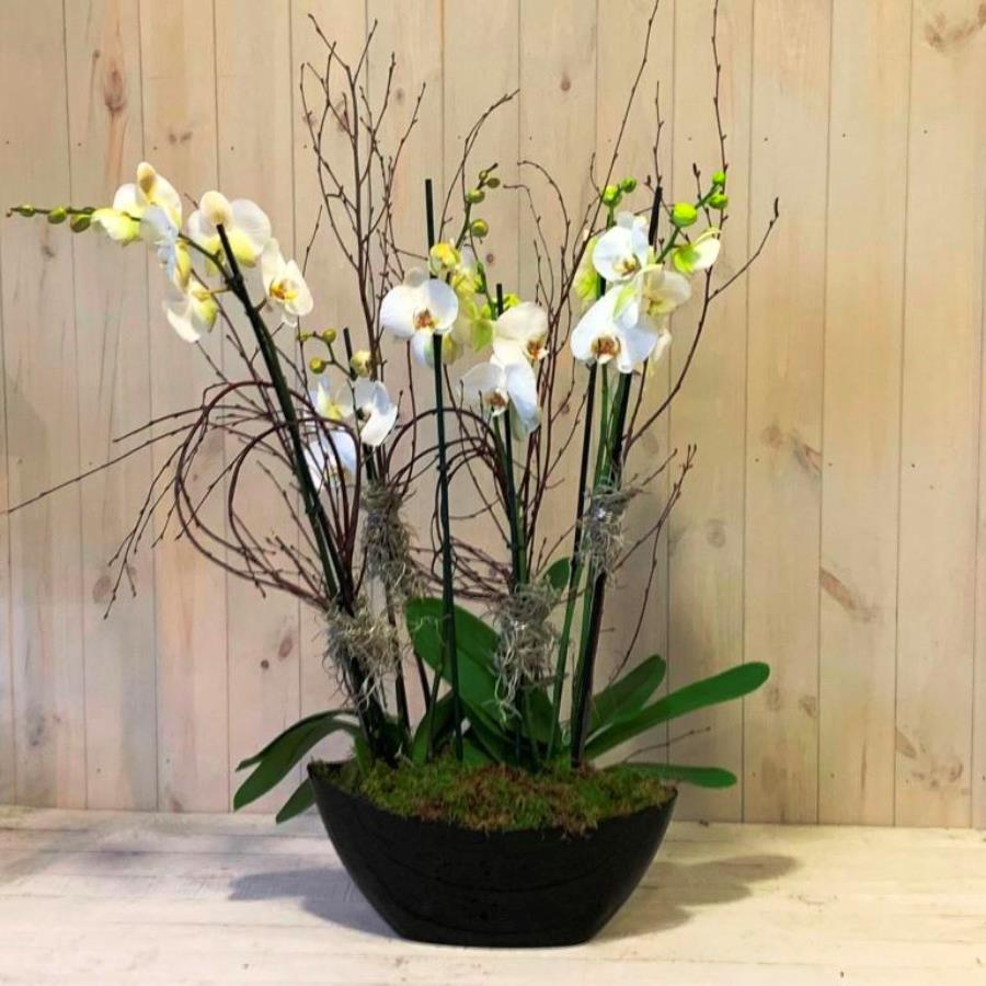 A pair of white orchid plants for delivery in Dublin