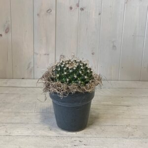 Cactus Plants to Order Online - Cactus Plant in Ceramic Container
