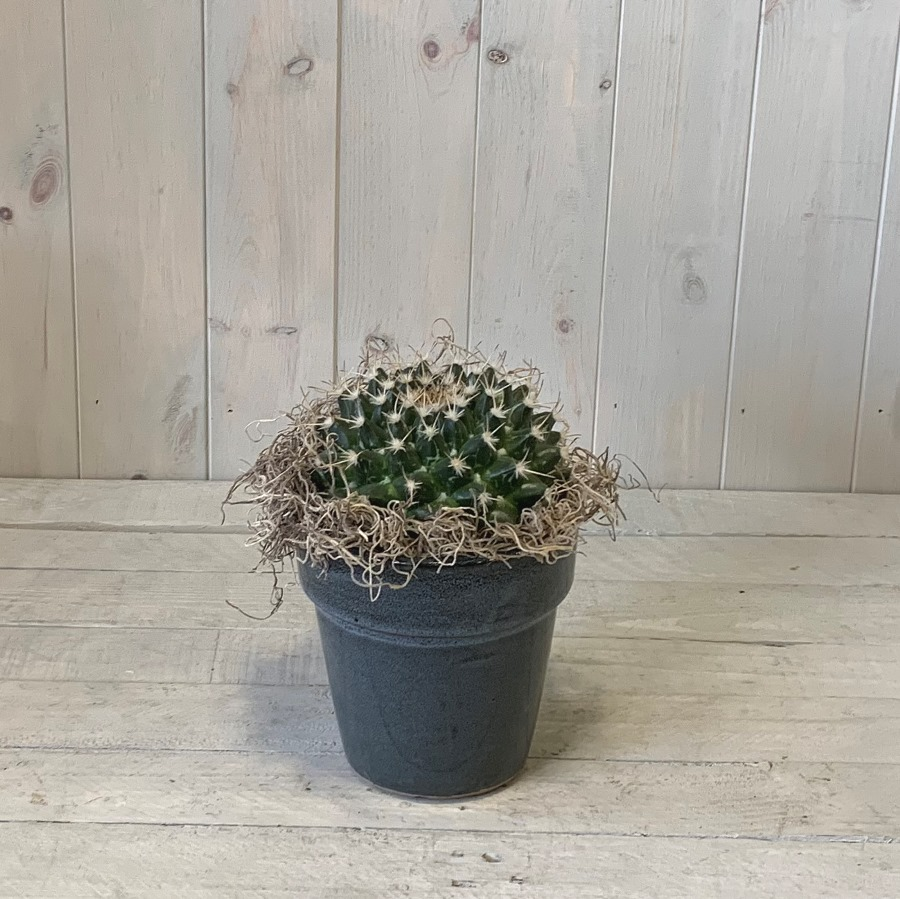 Cactus Plant in Ceramic Container – Click and Collect Only