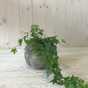 Click and collect plants - ivy plant in ceramic container.