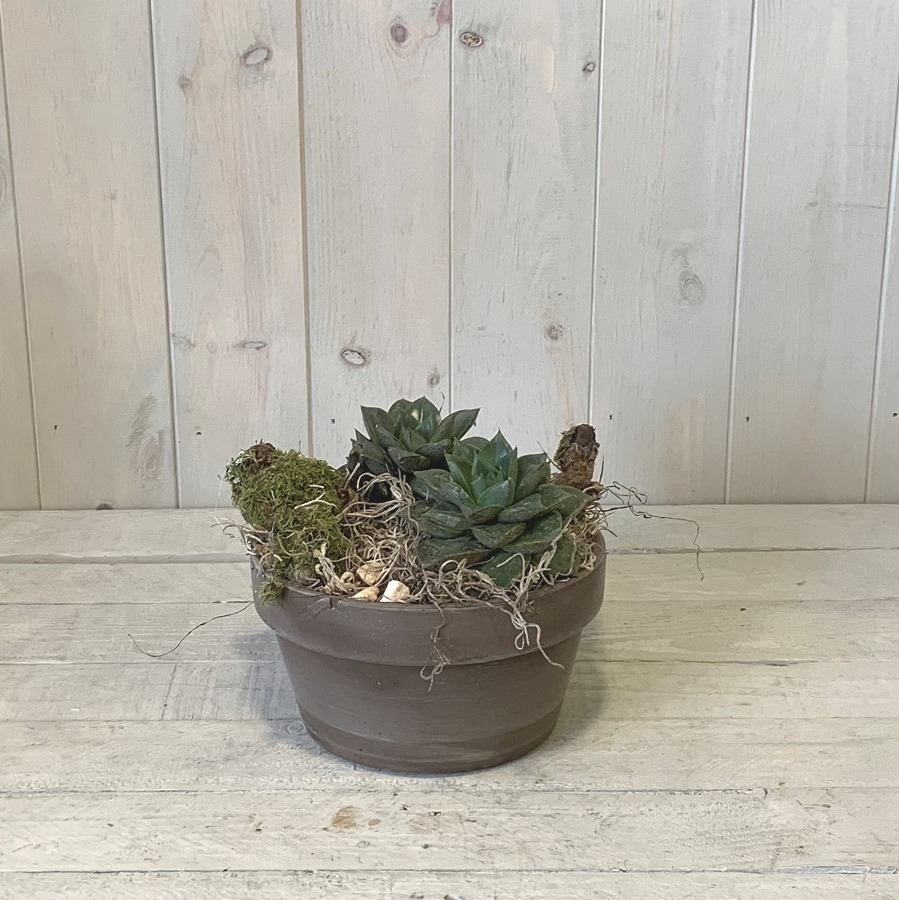 Pair of Succulent Plants in Ceramic Container – Click and Collect Only