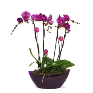 Plant delivery in Dublin - Twin Purple Orchid Plants