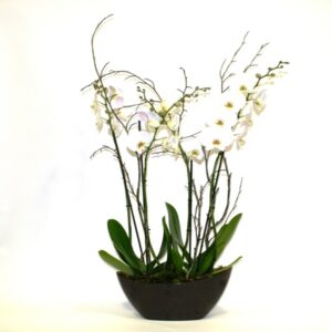 Plant delivery Dublin - twin white Orchid plants