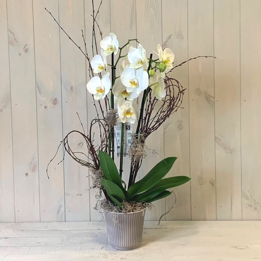 Phalaenopsis Orchid Plant for Delivery in Dublin